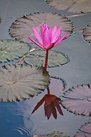 Lotus and its reflection in a pond at Pura Taman Ayun near Mengwi in Bali, Indonesia