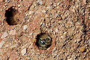 Schwarze Mörtelbiene (Megachile parietina) | The wild, solitary bee Megachile parietina