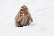 Snow monkey, juvenile in snow 2.