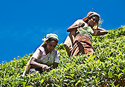 The  tea, the high altitude blue sky and the well dressed tea pickers on a steep slope are all elemental Sri Lanka.<br /> (Photo by Matt Considine - Images of Asia Collection)