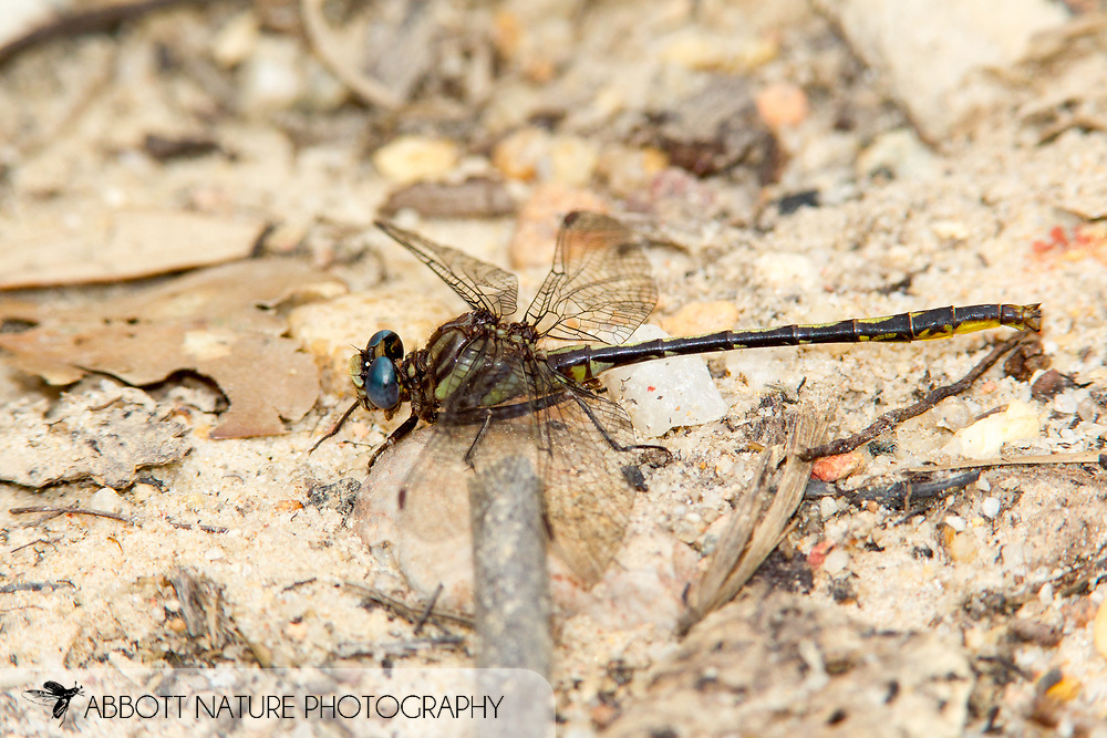 Diminutive Clubtail (Phanogomphus diminutus) - male<br /> SOUTH CAROLINA: Chesterfield Co.<br /> Cheraw State Park; Cheraw<br /> 6.May.2012  <br /> J.C. Abbott #2589