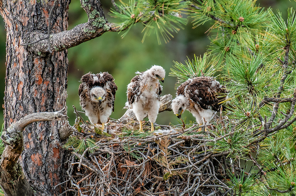 Red-tailed Hawk [Buteo jamaicensis] chicks, eating and picking at food left in nest; Raton Pass, Colorado