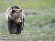A female grizzly bear (Ursus arctos) in Yellowstone National Park, Wyoming