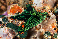 Nembrotha Nudibranchs Feeding on Tunicates<br /> <br /> shot in Indonesia