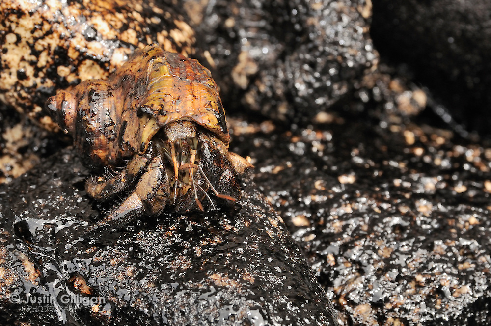 Hermit crab and oil during MV Tycoon accident off Christmas Island, Australia, Indian Ocean.
