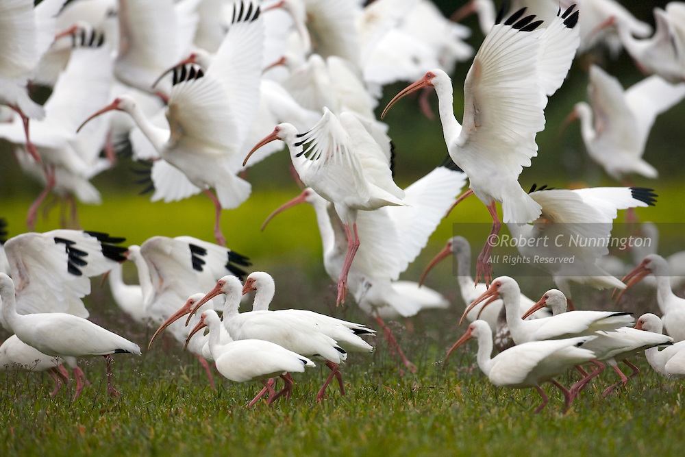A large group of white ibis on a feeding jaunt in the Everglades national park