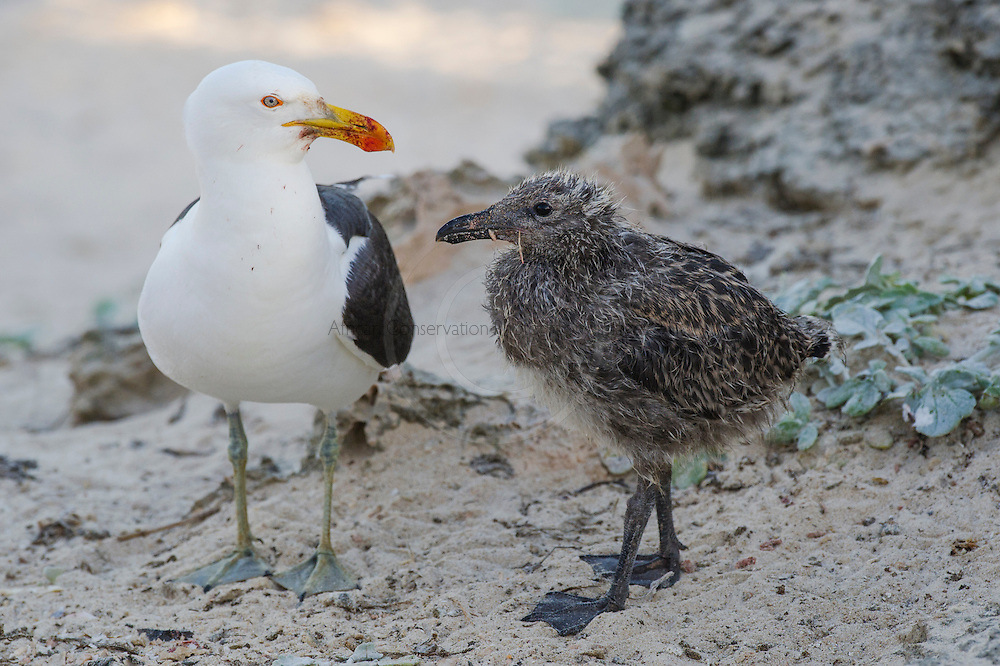Adult Kelp Gull and large chick, De Hoop Nature Reserve and marine protected area, Western Cape, South Africa