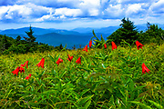 A splash of colorful red Gray's Lilies adorn the trail along at Roan Mountain State Park in Tennessee.<br /> <br /> &copy; Photography by Kathy Kmonicek