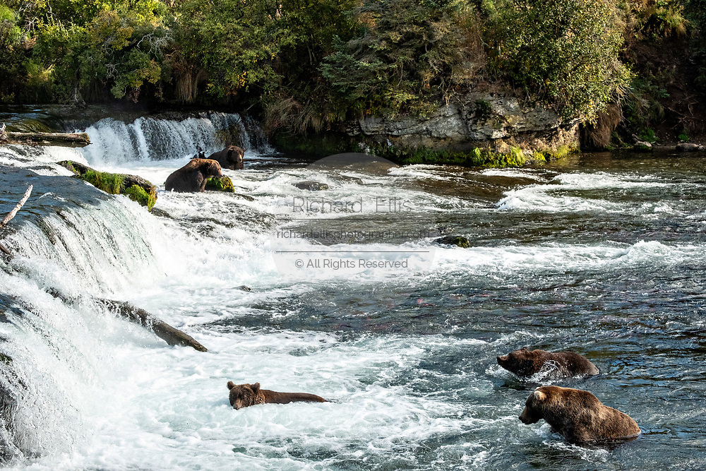 Five adult Brown Bears fish for Sockeye Salmon at Brooks Falls in Katmai National Park and Preserve September 16, 2019 near King Salmon, Alaska. The park spans the worlds largest salmon run with nearly 62 million salmon migrating through the streams which feeds some of the largest bears in the world.