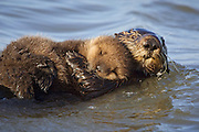 Southern Sea Otter<br /> Enhydra lutris<br /> Mother with 1 week old pup<br /> Monterey Bay,  CA, USA