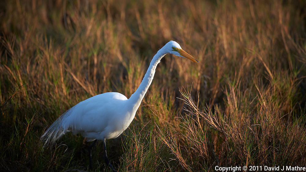 Great Egret Hunting.  Black Point Wildlife Road, Merritt Island Wildlife Refuge, Florida. Image taken with a Nikon D3s and 200-400 mm f/4 VR lens (ISO 200, 400 mm, f/4, 1/800 sec).