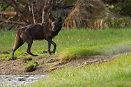 A yearling female from Yellowstone's Canyon Pack travels along the shores of the Gibbon River, about twenty miles from the pack's den site.  Wolves are known to travel more than twenty miles a day in search of food which in spring often consists of elk and bison calves.