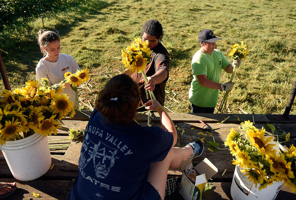 7/28/16 :: REGION :: STAND ALONE :: Volunteers, from left, Autumn Powell, Teia Powell, Davon Watson and Ethan Powell trim stems and bundle bouquets during the harvest of sunflowers at Buttonwood Farm in Griswold Thursday, July 28, 2016 for the farm's 13th annuals Sunflowers for Wishes fundraiser. A bouquet of sunflowers can be had for a $10 donation to the Make-A-Wish Foundation during the event which runs through this weekend. The event has raised over $1 million since it began.  (Sean D. Elliot/The Day)