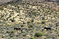 Red Rock Canyon - west of Las VegasWild Burros in the desert