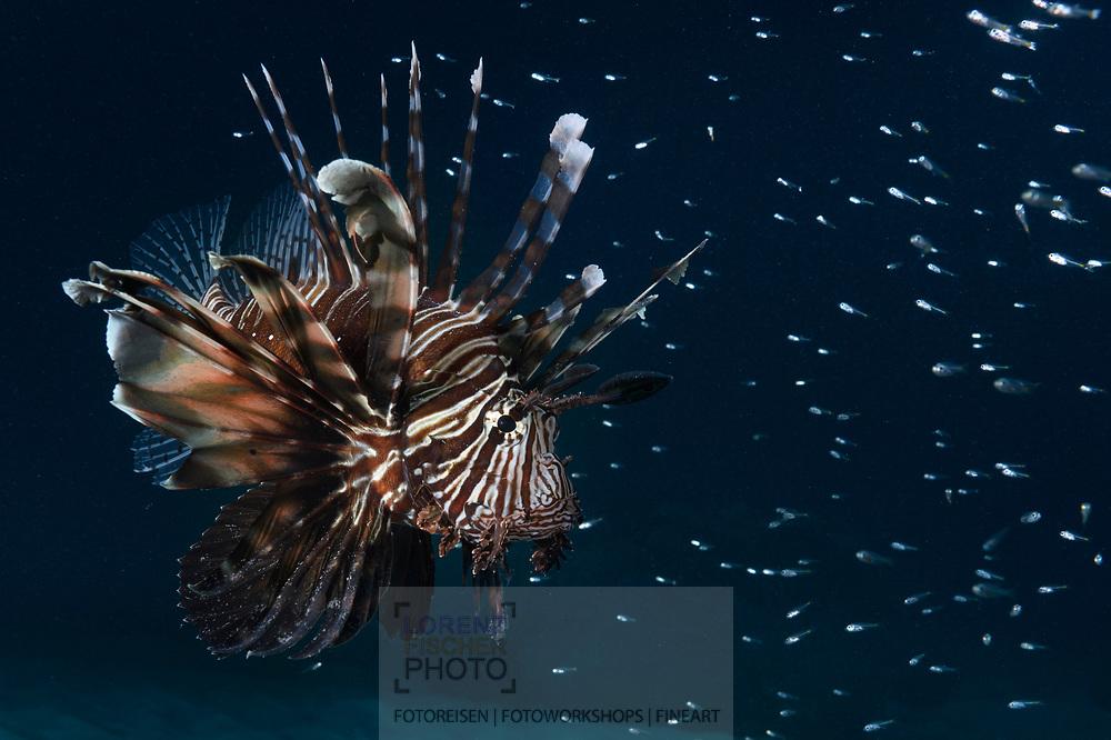 Ein Indischer Rotfeuerfisch (Pterois miles) umgeben von einem Schwarm von Jungfischen im Baie Ternay Marine National Park, Mahe, Seychellen<br /> <br /> Common lionfish wit a swam of baby fish in the Baie Ternay Marine National Park, Mahe, Seychelles
