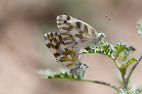 Pontia beckerii (Becker's White) ♂+♀ at Grizzly Flat, Angeles NF, Los Angeles Co, CA, USA, on 04-Jul-16
