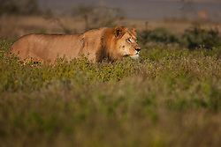 An adolescent male lion (Panthera leo) walking in high grass during the wet season in the Kalahari Desert, Central Kalahari Game Reserve, Botswana, Africa