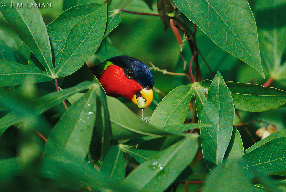 A collared lory feeding on cassava fruits.