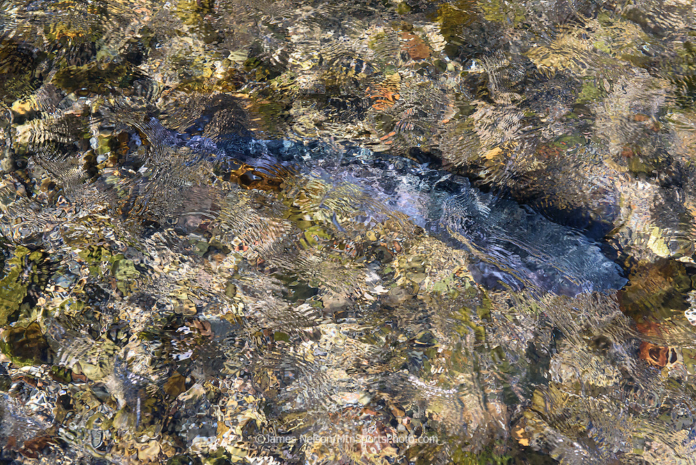 A rainbow trout glides on the currents of a stream in Idaho.