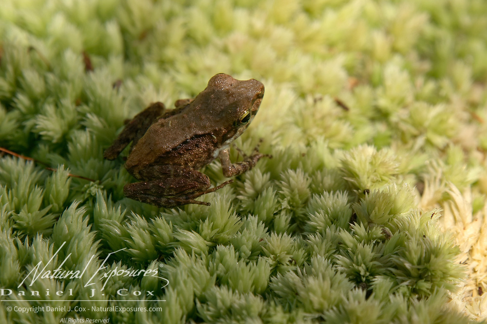 A small frog found on the forest floor near the village of  Andranokoditra, Madagascar