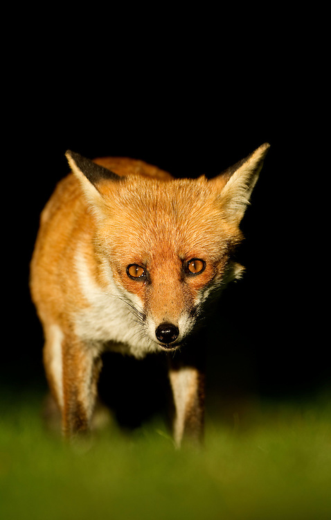 Red Fox (Vulpes vulpes) in late evening light, Leicestershire