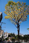 Belo Horizonte_MG, Brasil...Guapuruvu, especie de arvore da Mata Atlantica, florida nas ruas do Bairro Anchieta...Guapuruvu flowering tree, typical tree from Mata Atlantica, in the Anchieta neighborhood...Foto: JOAO MARCOS ROSA / NITRO