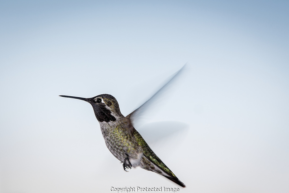 Male Anna's hummingbird searches his territory for other Hummers