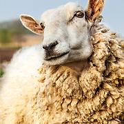 Cheviot Sheep