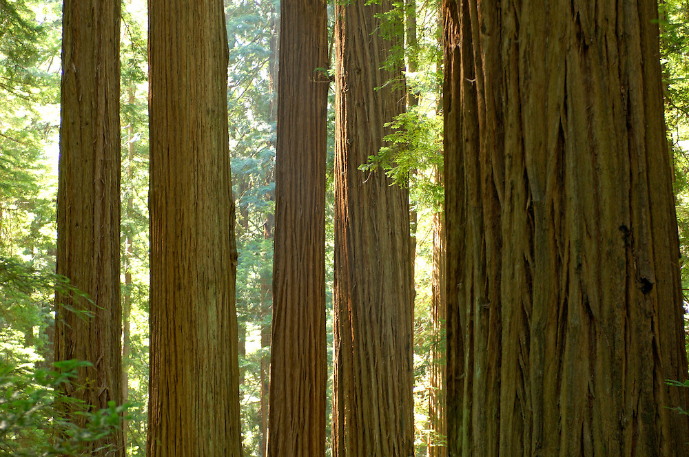 Redwood trees, Avenue of the Giants, Humboldt Redwood State Park, near Pepperwood, California, United States of America