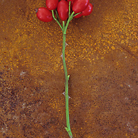 Stem of Dog rose or Rosa canina lying with its ripe shiny red rosehips on rusty metal sheet
