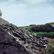 Sheep guarding bunker, Bergen, Norway (July 2006)