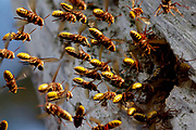 Hornets (Vespa crabro) entering and exiting nest in hollow pine tree (composite). Surrey, UK.