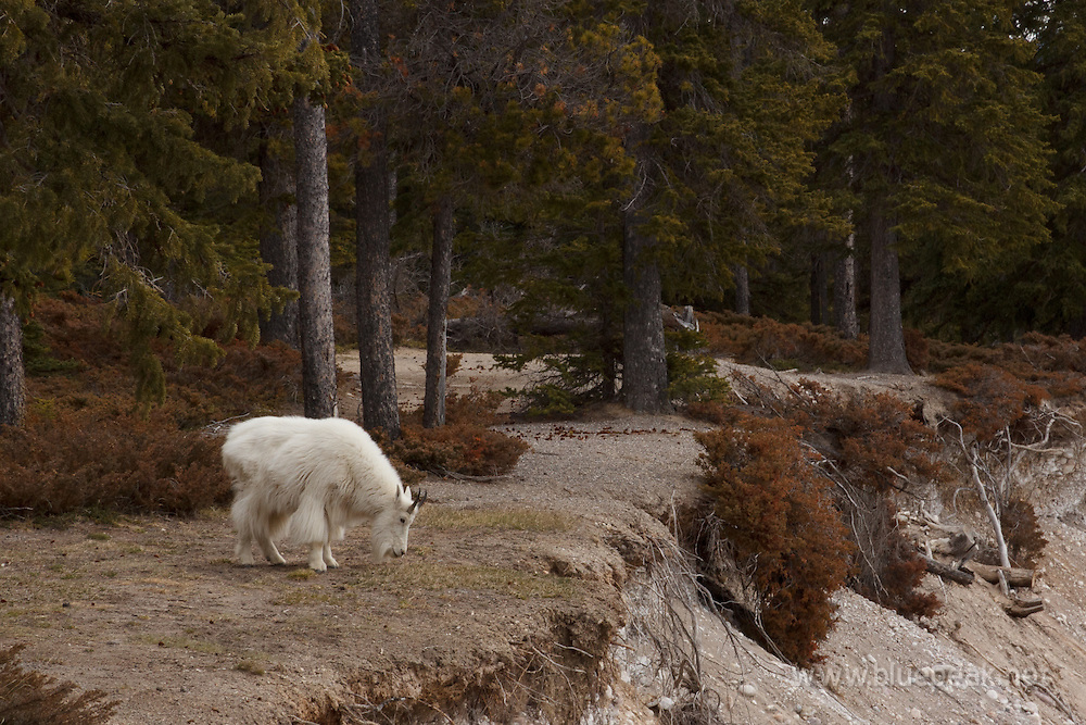 Male mountain goat, Oreamnos americanus, aolong the Athabasca River, Jasper National Park.