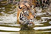 A Sumatran Tiger wades in the water.