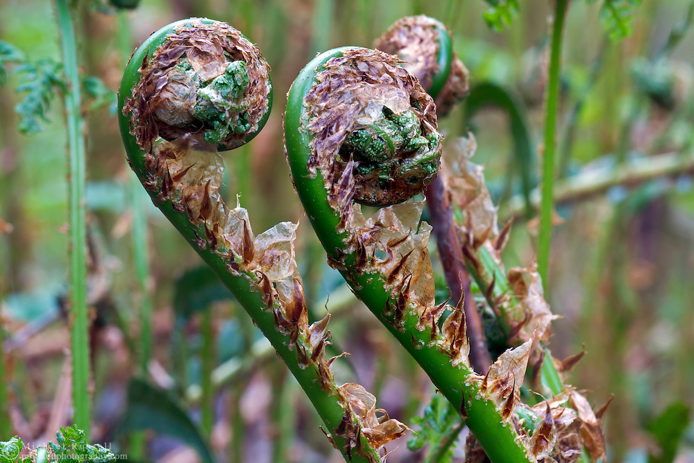 Fiddleheads of a Sword Ferm (Polystichum munitum) at Campbell Valley Park, British Columbia, Canada