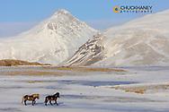 Icelandic horses in winter pasture near Hofn, Iceland