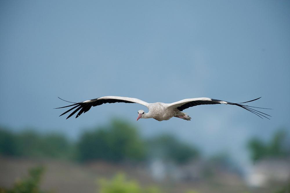 White stork {Ciconia ciconia} in central Moldova