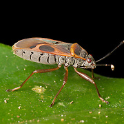 Pyrrhocoridae is a family of insects with more than 300 species world-wide. They are part of the order Hemiptera which are also known as the 'true bugs'
