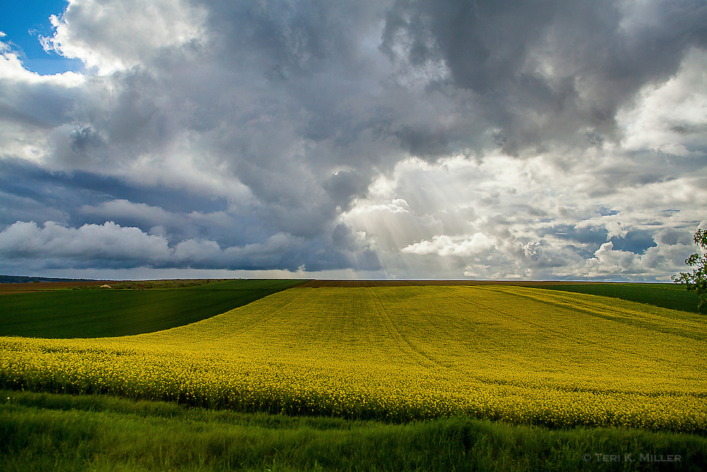 Field of rapeseed in the Champagne region of France.