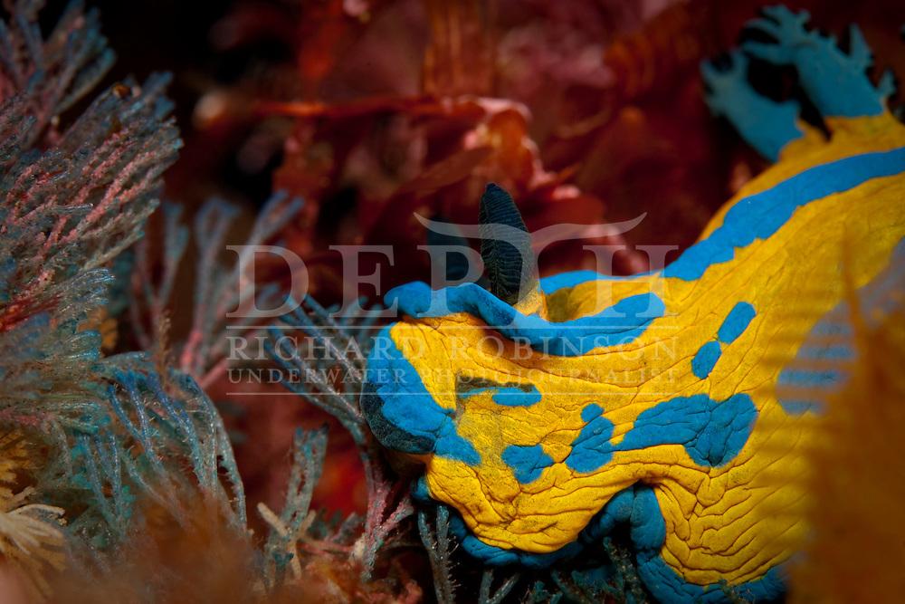A Verco's Tambja Nudibranch (Tambja verconis) Inspiration Point at the Poor Knights Marine Reserve, New Zealand..Saturday 30 May 2009.Photograph Richard Robinson..Dive Number 166.Max Depth 34.5  m..Temp 17c. O2 33%.Bottom Time  98 min..Bottom Time to Date  8149 min..Cumulative Time 8247 min.