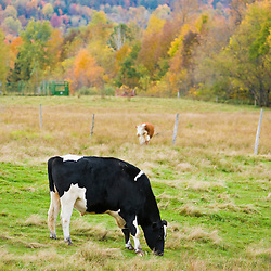 A cow ar Mountain View Farm in fall in Vermont's Northeast Kingdom.  East Burke.