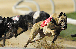 Greyhound Racing, Towcester Racecourse Saturday 21st January 2017ALL ABOUT WILL (Red Coat) Winning Race 12