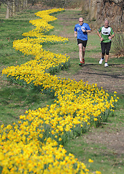 © Licensed to London News Pictures. 10/03/2014<br /> Joggers running along side snaking daffodils in Kent.<br /> A sunny south east morning (today 10.03.2014) at Foots Cray Meadows in Sidcup,Kent.<br /> Photo credit :Grant Falvey/LNP