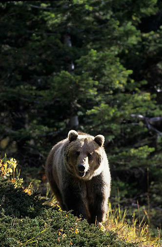 Grizzly Bear, (Ursus horribilis) Montana. Adult in western Rocky mountains.  Captive Animal.