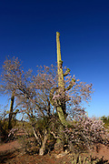Ironwood trees bloom as saguaro cactus bud prior to blooming, Silverbell Mountains, Ragged Top Peak, Ironwood Forest National Monument, Sonoran Desert, Avra Valley, Arizona, USA.