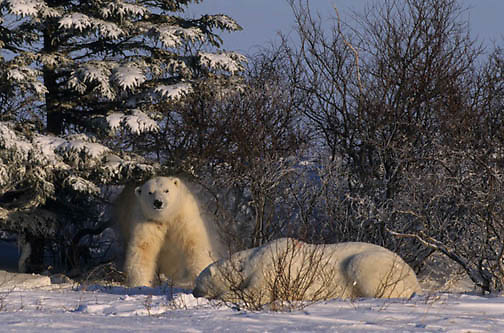 Polar Bear, (Ursus maritimus)  Sub adults resting. One shakes snow from body. Churchill, Manitoba. Canada.