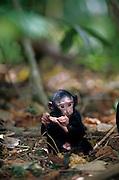 This 20 days old Celebes Crested Macaque has to fight against mites. | Selbst der 20 Tage alte Schopfmakake muß schon mit Milben kämpfen.