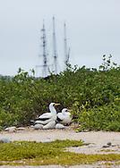 Nazca Boobies, Galapagos