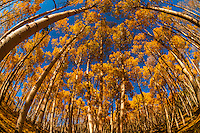 A grove of aspen trees on Last Dollar Road between Ridgway and Telluride, Colorado USA.