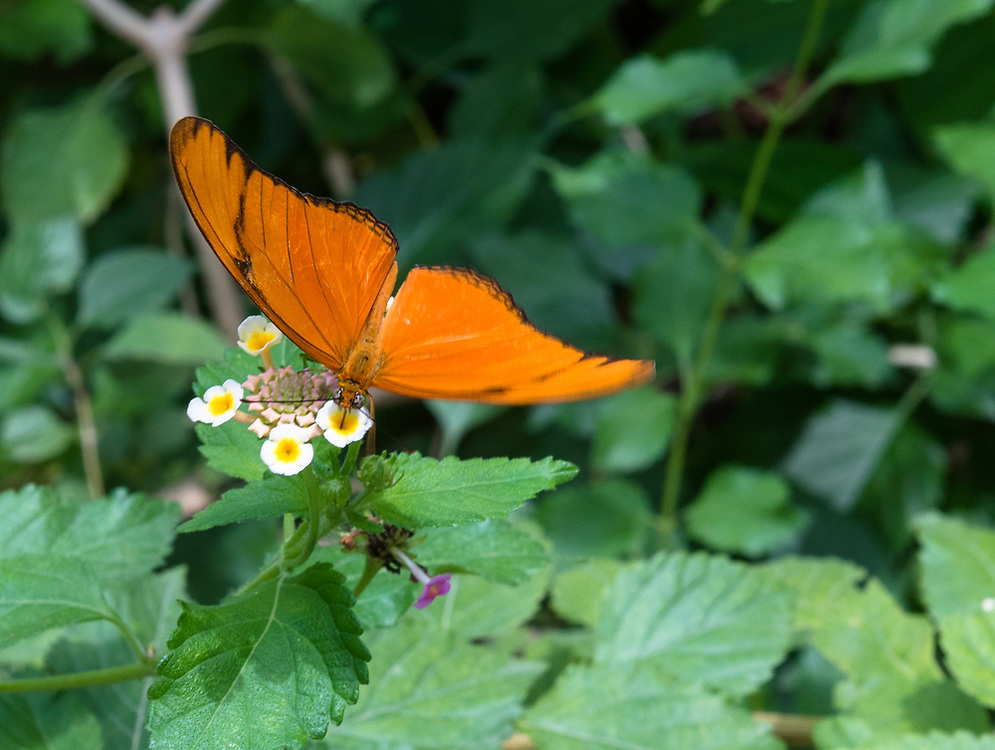 An orange butterfly polinating white flowers among the green leaves of a garden.